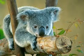 Koala de objetivos