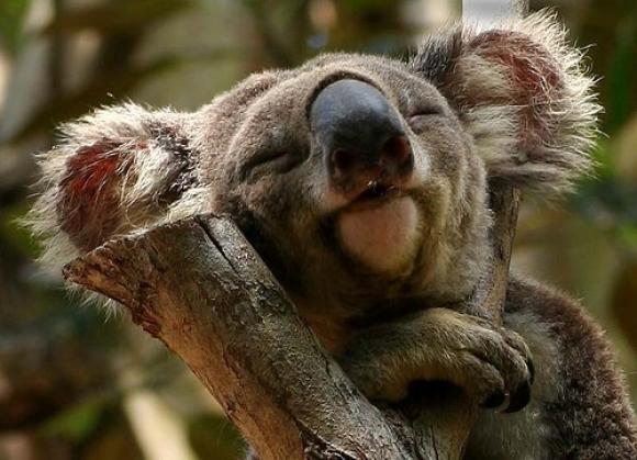 Koala experto
