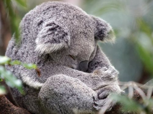 koala meditando