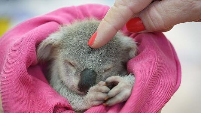 cute-koala-image
